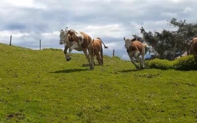 Die Kleinen kommen zum ersten Mal auf die Weide